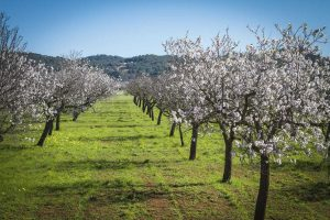 Almond Blossoms in the Pla de Corona